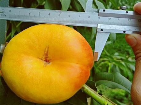桃树苗多少钱