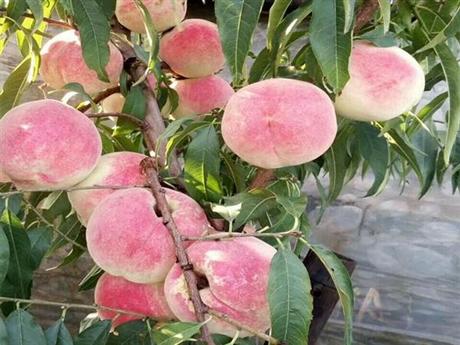 桃树苗多少钱一株