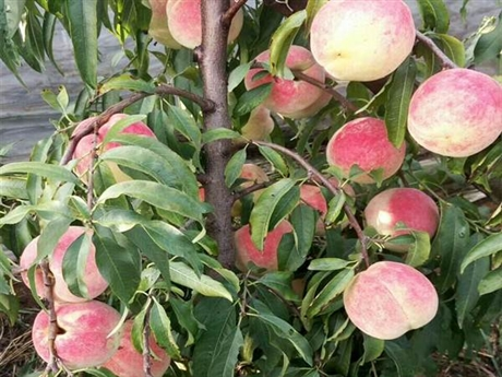 桃树苗批发价格