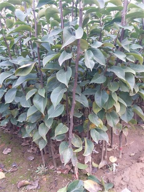 梨树苗优惠价格