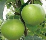 秋月梨树苗的价格