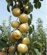 秋月梨梨树苗批发价格