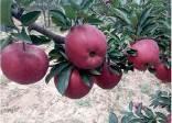 维纳斯苹果苗价格多少