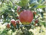 苹果苗多少钱一棵