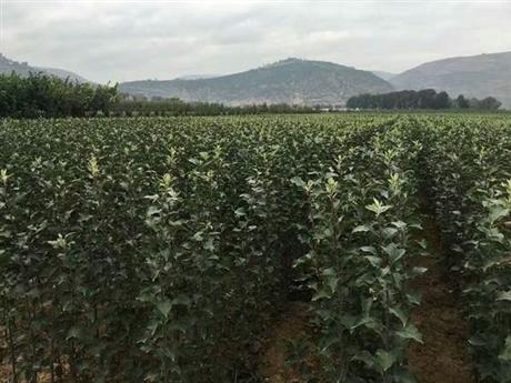 鲁丽苹果苗新品种