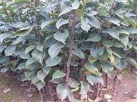 黄花梨树苗哪里有卖