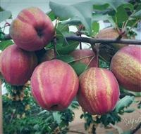 秋月梨树苗一棵多少钱