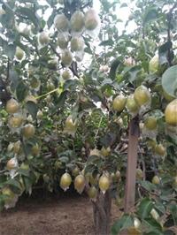 梨树苗新品种 梨树苗价格批发
