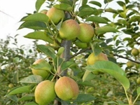 早酥红梨梨树苗价格