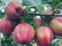 金果梨梨树苗的价格