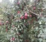 秋月梨梨树苗的价格