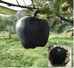 鲁丽苹果苗一棵多少钱