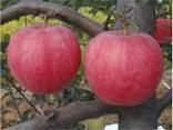 烟富8号苹果苗价格多少