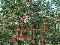 刚发芽的苹果苗新品种