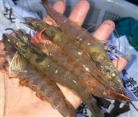 基围虾高产养殖技术