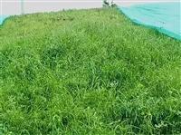 重慶建植草坪施工速度快施工成本低