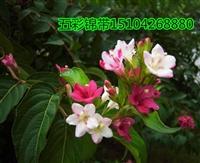 五彩锦带生长特性