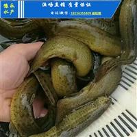泥鳅苗养殖技术 台湾泥鳅苗在
