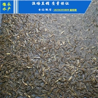 台湾泥鳅苗的价格 泥鳅苗在较好