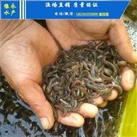 杂交泥鳅苗的价格泥鳅苗 价格的价格