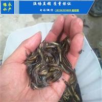 泥鳅苗多少钱一斤 达州泥鳅苗在哪里买