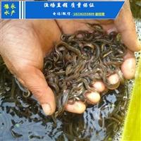 泥鳅苗价格的价格 台湾泥鳅苗在