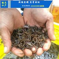 泥鳅苗一斤有尾 优质泥鳅苗的价格