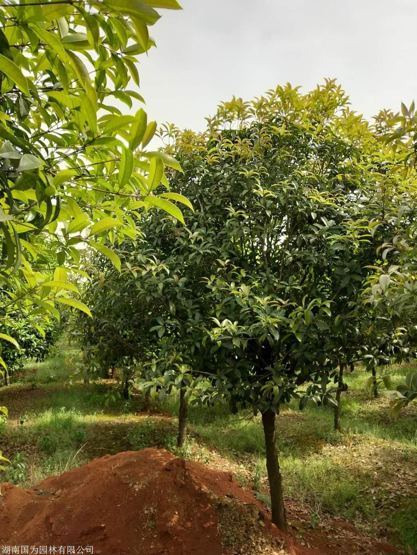湖南桂花树价格 哪些因素会造成桂花树