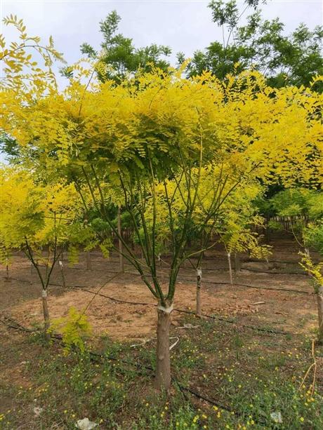 陕西结果风景树图片