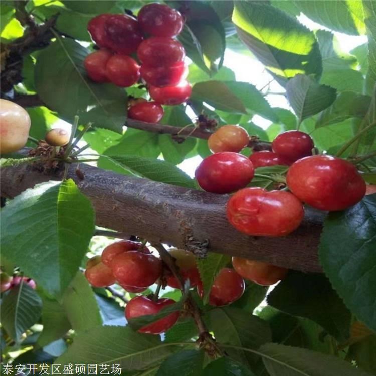 矮化樱桃苗基地萨米脱樱桃苗基地