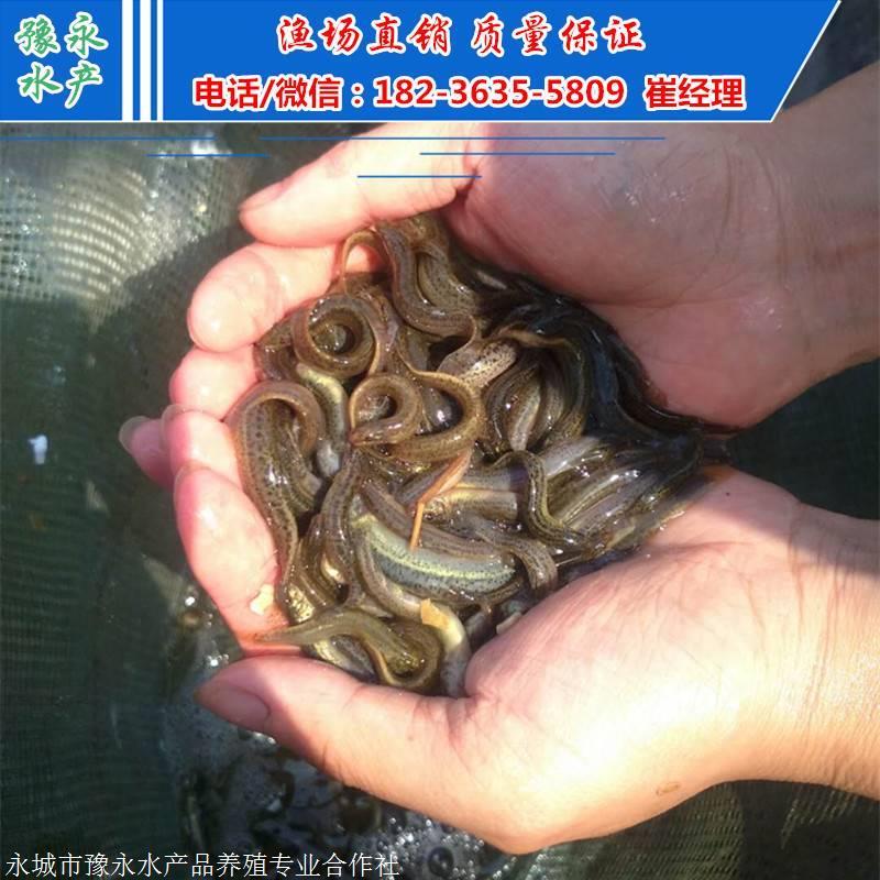 泥鳅苗一万尾的价格 重庆市杂交泥鳅苗价格