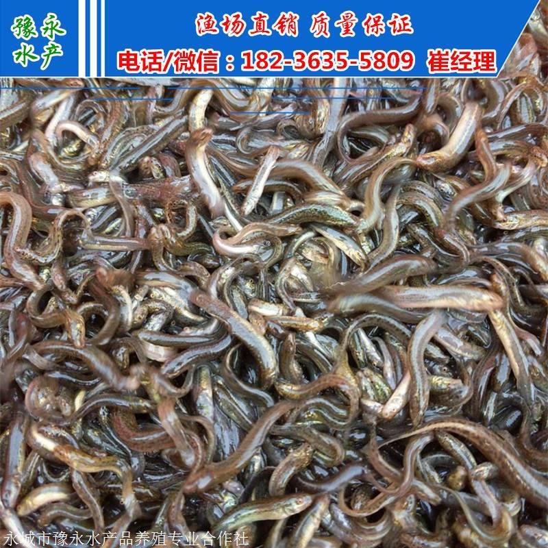 泥鳅苗养殖技术 泥鳅苗在较好