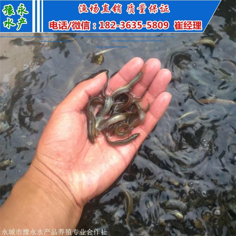 泥鳅苗批发 购买泥鳅苗价格
