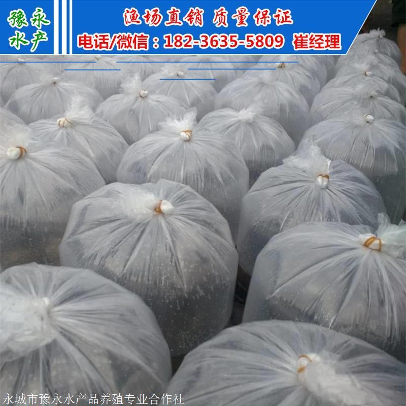 泰安台湾泥鳅苗 泥鳅苗批发价格 泥鳅苗批发价格