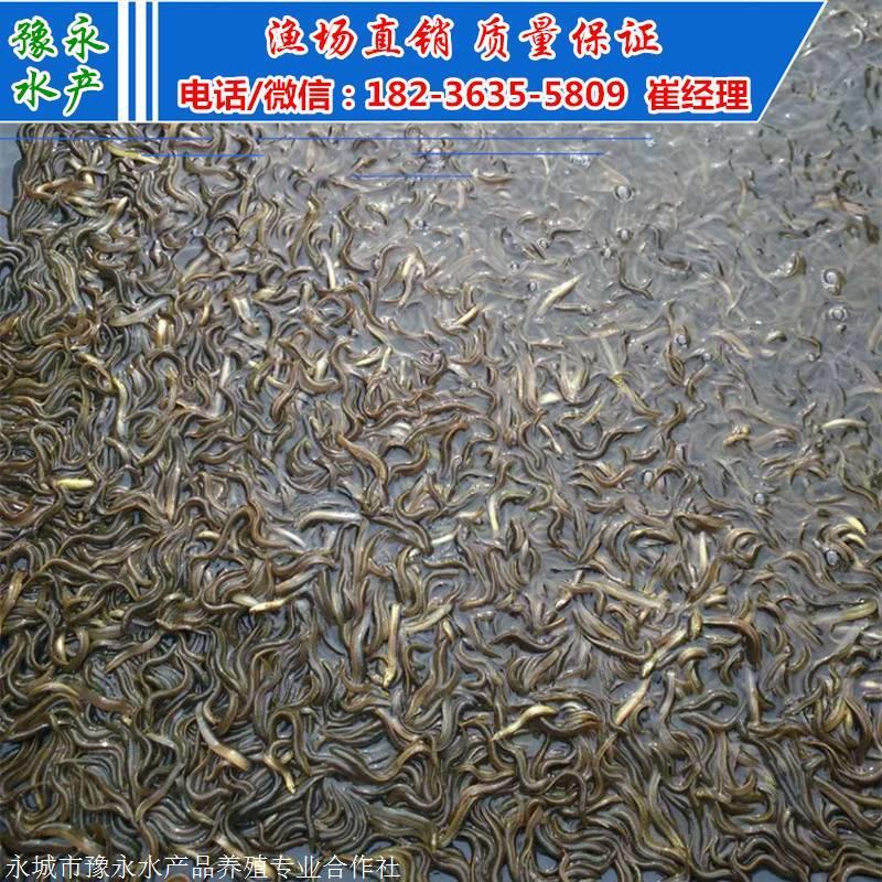 台湾大泥鳅苗 台湾泥鳅苗多少钱一斤 泥鳅苗批发价格