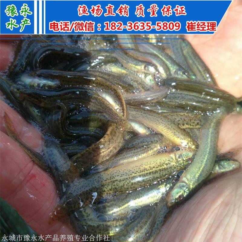 台湾大泥鳅苗 台湾泥鳅苗多少钱一斤 泥鳅寸苗价格