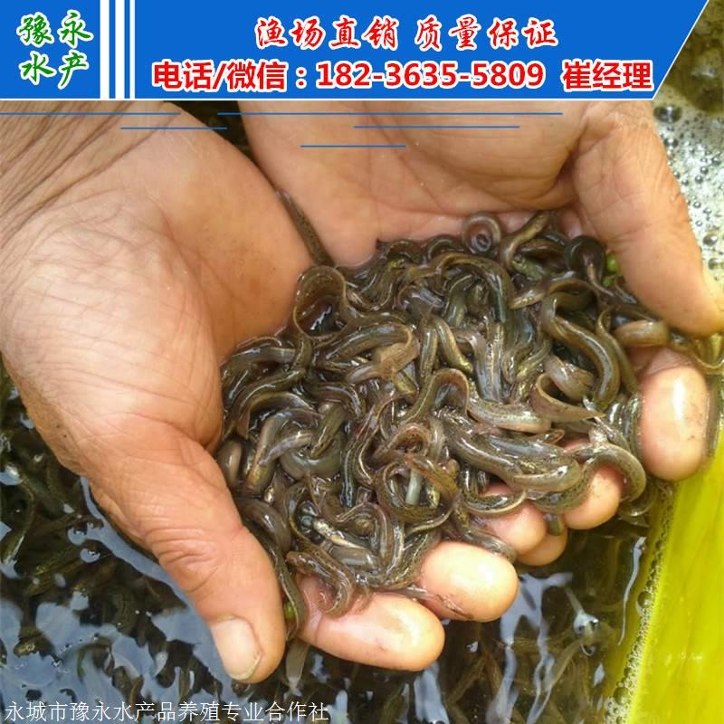 台湾泥鳅寸苗 批发泥鳅苗泥鳅苗价格