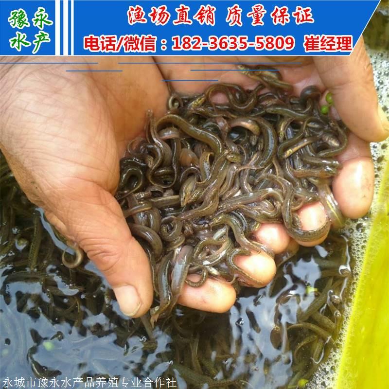 泥鳅苗厂家 泥鳅苗多少钱 泥鳅寸苗供应