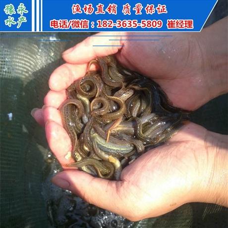 德州台湾泥鳅苗 泥鳅苗多少钱一斤泥鳅苗价格