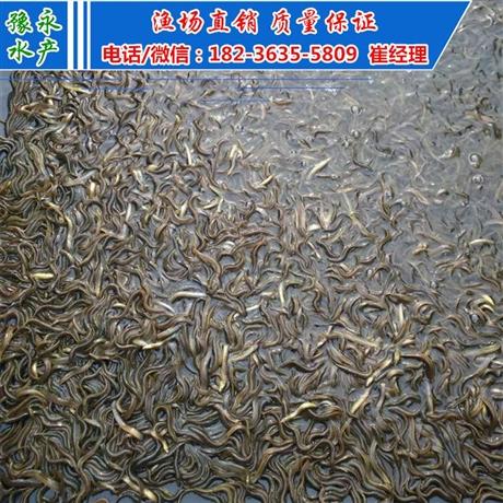 天津泥鳅苗  出售繁殖泥鳅苗多少钱一斤