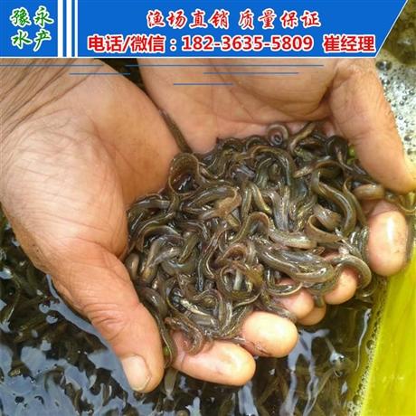 北京台湾黄金泥鳅  出售泥鳅公分苗销售