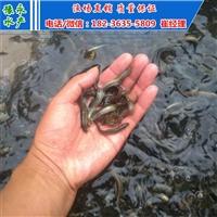 台湾泥鳅寸苗 台湾泥鳅苗多少钱一斤 泥鳅寸苗价格