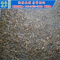 淮北泥鳅苗养殖技术 泥鳅苗多少钱一斤 泥鳅寸苗价格