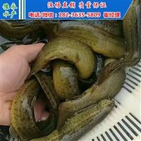 供应泥鳅苗 泥鳅苗多少钱一斤 泥鳅寸苗价格