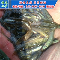 北京泥鳅开口苗  出售繁殖泥鳅苗批发