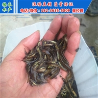 北京泥鳅开口苗  出售繁殖泥鳅苗价格