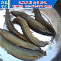 台湾泥鳅寸苗 泥鳅苗批发价格 泥鳅苗批发市场