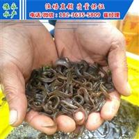 北京泥鳅开口苗  出售泥鳅苗基地价格
