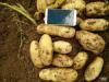 供應:遼寧錦州土豆,凌海荷蘭十五土豆806土豆大量上市中
