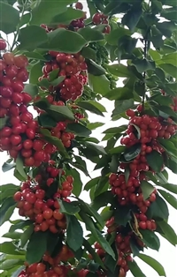 七台河果实大的樱桃品种哪里有